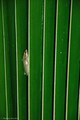 (Mathias Dezetter) Tags: faune fauna nature naturaleza rana frog selva jungle palm tree flora animal animaux amphibien amphibian grenouille arboricole tropical humide afrique bush brousse