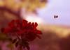 Bee (nynaevee) Tags: nature bee macro naturemacro naturebeautiful macrophotography photography naturephotography naturephotograph beemacro flowermacro flower flowers