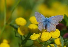 Still going strong (joeke pieters) Tags: 1350812 panasonicdmcfz150 blauwtje icarusblauwtje commonblue vlinder butterfly schmetterling papillon boerenwormkruid