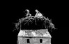feathered worldtraveler (christikren) Tags: rust austria seewinkel animal natur storksnest burgenland nature klapperstorch zugvögel globetrotter weisstorch nistplatz blackandwhite bw sw flown south storch rauchfang flue world traveler fauna birds natural amateur christikren young stork nest departure panasonic stars flickr