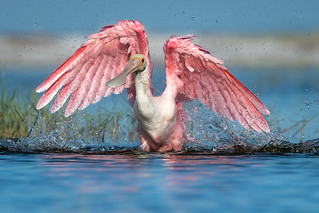 Roseate Spoonbill, Lee County, FL [Explore 4 September 2017]