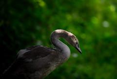 'Phillipe' (Jonathan Casey) Tags: nikon d810 400mm f28 vr cygnet thetford forest norfolk uk jonathancaseyphotography
