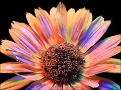 False Sunflower Revealed (ChipRossMaine) Tags: falsesunflower heliopsis flower blackbackground colorful rgb lighting petals canoneosrebelt7i canoneos800d rebelt7i eos800d chipsfolio
