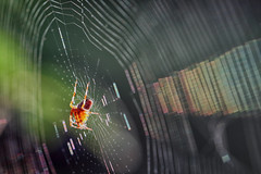 La toile arc-en-ciel (jjcordier) Tags: araignée toiledaraignée irisation arcenciel web beyondbokeh