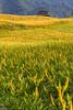 IMG_8002 (Rj Wu) Tags: 台灣 台東 池上 六十石山 金針花 花東縱谷 夕陽 黃昏 雲 天空 山 山谷 植物 太陽 耶穌光 斜射光 霞光 風景