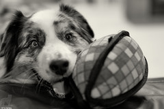Smiling eyes with a hint of mischief (Jasper's Human) Tags: aussie australianshepherd football play couch dog smile