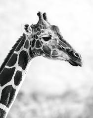 By far, one of the coolest animals around.. ⠀ #Africa #kenya #MassaiMara #Giraffe (mitalpatelphoto) Tags: ifttt instagram giraffe kenya africa maasaimara wildlife