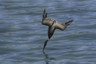 4406 - Brown Pelican SS (EXPLORE 8-7-17)