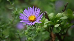 Flora - 3661 (YᗩSᗰIᘉᗴ HᗴᘉS +9 500 000 thx❀) Tags: 7dwf flower flora fleur violet parme color green nature zoo zoodanvers macro hensyasmine