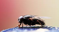vlieg op bier dop (peter.velthoen) Tags: macro insect beercap bierdop vlieg zundert samengesteldoog facetoog 4000facetten kroonkurk trappist