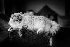 Whyley Taking a Rest (Jannik Peters) Tags: cat catcontent black white deep contrast beautiful majestic siberian sony fe 14 50 planar a7ii
