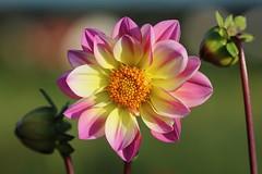 Dahlia (LuckyMeyer) Tags: dahlie garten sommer pflanze blume blüte flower fleur yellow gelb rosa