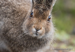Mountain hare close up! (Gowild@freeuk.com) Tags: mountainhare leveret young lepustimidus summer mountain cairngorm nationalpark nature animal mammal wild wildlife andrewmarshall nikon