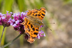 Comma (margaretc1946) Tags: comma bigbutterflycount butterflyconservation glos butterfly conservation pentaxk3 tamron90mmf28macrolens