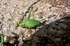 Cricket 255/365 (Hornbeam Arts) Tags: leptophyespunctatissima