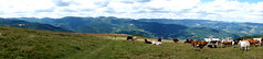 Panorama vosgien (Philippe Haumesser (+ 8000 000 view)) Tags: paysages landscape landscapes nature montagne montagnes mountain mountains pré prairie meadow animal animaux animals vaches cows nuages clouds forêt forêts forest forests vosges alsace elsass france hautrhin 68 sonyilce6000 sonyalpha6000 sony panorama panoramique 2017