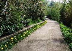 Dandelion border at lagoon (FernShade) Tags: lostlagoon dandelions flowers flora stanleypark