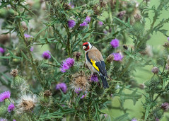 Goldfinch ( Carduelis carduelis ) (Dale Ayres) Tags: goldfinch carduelis bird nature wildlife