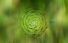 Verde que te quiero verde... (☮ Montse;-)) OFF) Tags: fdsflickrtoys suculante aeonium macro green verde canarias flora nature botánico jardíncanario