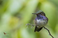 Volcano Hummingbird (fernaabs) Tags: volcanohummingbird selasphorusflammula chispitas colibrímosca chispitavolcanera aves apodiformes trochilidae selasphorus avesdecostarica fernaabs burgalin