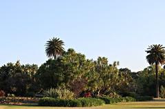 2017 Sydney: A Very Windy Spring Afternoon in Centennial Park #51 (dominotic) Tags: sydney nsw australia newsouthwales 2017 centennialpark publicpark tree green bluesky goldenglow shadow palmtree gardenbeds nature springsunset