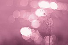 Auroral elusiveness (Paulina_77) Tags: helios 44m4 582 helios44m4 helios58mmf2 russian prime lens helios44 444 m42 mount manual soviet bokeh vintage nikond90 nikon d90 pola77 lake water blur mother nature scenery scene glisten glistening pastel romantic soft delicate tender subtle gentle softness gentleness delicacy tenderness frail fragile light pastels fragility mood atmosphere moody atmospheric dreamy dream daydream dreamlike dreaminess pink flicker warm glow glowing shimmer shimmering burn burning swirl sweet lovely bokehlicious macro abstract art artistic monochrome backlight backlit grass