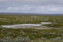 40081816 (wolfgangkaehler) Tags: 2017 europe european iceland icelandic island easterniceland lake plants reed reeds swamp swamps swampy swampland swamplands landscape scenic scenery