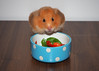 Happy Birthday Monty! (.annajane) Tags: pet cute hamster syrianhamster goldenhamster salad mesocricetusauratus