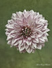 Pink Dahlia (MarieFrance Boisvert) Tags: dahlia flower pink green textures flypaper macro