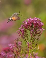 Hummingbird Hawk Moth - Macroglossum stellatarum (frattonparker) Tags: btonner bokeh depthoffield flowersplants isleofwight lightroom6 nikond810 raw tamron28300mm wildflower frattonparker dayflyingmoth valerian nectaring ventnor