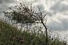 Ærø 2017 - Voderup Klint - Forblæst lille træ (Walter Johannesen) Tags: ærø 2017 danmark denmark sommer summer natur nature land landscape landskab træ tree vindblæst windblown