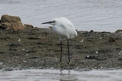 DSC03515A (simonbalk523) Tags: wildlife photography nature birds sony tamron rutland reservoir lakes