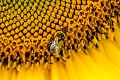 Sun Bee . . . (Dr. Farnsworth) Tags: sun bee sunflower pollen yellow small labor day fernridge mi michigan summer august2017 fantasticnature perfectphotographer