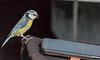Blue tit (roysalomonsen) Tags: blåmeis cyanistescaeruleus iphone bluest bird norway tromsø