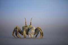 Ghost Crab (Daniel Trim) Tags: ghost crab madagascar sea beach wildlife nature animal morondava ocypode africa