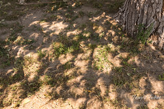 Crescent shadows of the eclipse on the ground