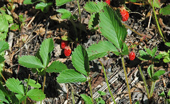 Fragaria virginiana (wild strawberry) (Great Smoky Mountains, Tennessee, USA) 1 (James St. John) Tags: fragaria virginiana wild strawberry strawberries great smoky mountains national park tennessee plant plants flowering