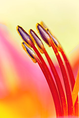 Lily (mclcbooks) Tags: flower flowers floral macro closeup lily lilies stamens anthers denverbotanicgardens colorado summer
