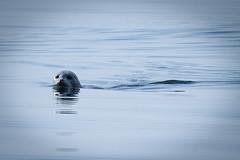 Seal at sea (leffi333) Tags: dønna helgeland norway