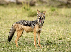 Black-backed Jackal with Mouth Open (John Hallam Images) Tags: blackbacked black backed jackal blackbackedjackal masai mara masaimara kenya