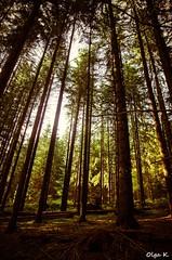 DSC_3652 (Olga Kapushtenska) Tags: wood tree bridge putila chernivtsi nature mountains water pine christmas river bukovina путила буковина карпаты горы лес сосны река природа olga k