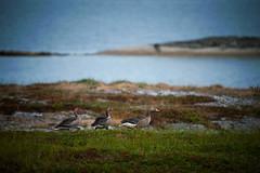 Geese looking for food (leffi333) Tags: dønna helgeland norway
