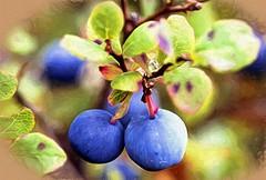 Blueberries - Alaska (Explored) (JLS Photography - Alaska) Tags: berries blueberries autumn fall jlsphotographyalaska blue fruit alaska foliage forestfloor berry macro