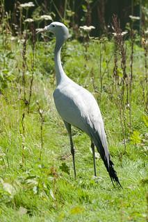 Grus paradisea - Stanley Crane