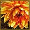 Waiting. #takoma #dc #dclife #washingtondc #iPhone365 #iPhone7plus #iPhone #iPhonemacro #macro  #flower #flowersofinstagram (Kindle Girl) Tags: iphone takoma dc dclife washingtondc iphone365 iphone7plus iphonemacro macro flower flowersofinstagram