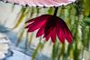 Waterlily's Reflection (Beangrau12) Tags: reflection waterlily water reddishpurple