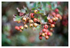Berries galore (leo.roos) Tags: swirly berries bessen red rood a7rii meopta meostigmat3513 projectorlens projectionlens darosa leoroos yellow geel