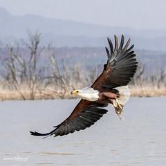 500_2802.jpg (Laurent LALLEMAND) Tags: accipitriformes baringo oiseaux kenya accipitridae continentsetpays haliaeetusvocifer afrique africa ke ken