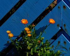 Sun worship (Colin-47) Tags: microfourthirds m43 sunshine colin47 september norfolk uk 2017 lumixgvario100300 dmcg80m plants flowers petals green orange yelow blue fence nature thenaturalworld sunworship summer textures colourful calendula lines angles
