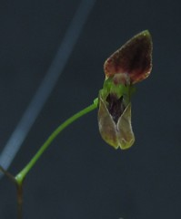 Pabstiella sp var. CAL/ES escura (Micro-orquídeas Roberto Martins) Tags: pabstiella sp var cales escura pleurothallis pleurothallidenae epifitas micro microorquídeas mini orquídeas exposição orquidáceas galeria robertomicroorquideas robertoorquideas robertomicros permuta venda de coleção